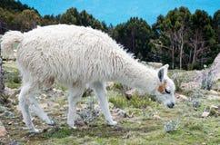 Lama on Island of the Sun on Titicaca lake. Bolivia. Royalty Free Stock Image