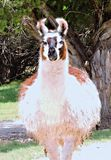 Lama. This lama isn't shy and posses for the camera before walking away royalty free stock photo