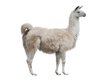 Lama isolated. Adult lama exterior isolated over a white background Stock Photo