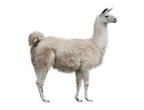 Lama isolated. Adult lama exterior isolated over a white background stock photo