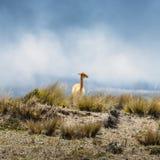 Lama ist ein domestiziertes südamerikanisches camelid, das als Fleisch und Satztier durch Andenkulturen seit dem Vor-kolumbianisc lizenzfreie stockfotografie