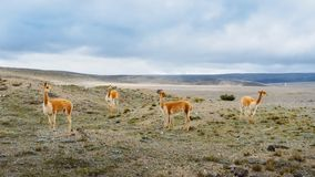 Lama ist ein domestiziertes südamerikanisches camelid, das als Fleisch und Satztier durch Andenkulturen seit dem Vor-kolumbianisc stockbild