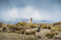 Lama ist ein domestiziertes südamerikanisches camelid, das als Fleisch und Satztier durch Andenkulturen seit dem Vor-kolumbianisc lizenzfreies stockfoto