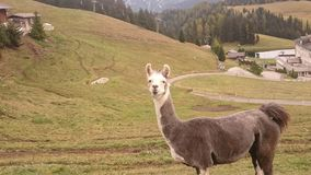 Lama. In Italien Bergen mit panorama Stock Photography