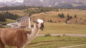 Lama. In Italien Bergen mit panorama Royalty Free Stock Images