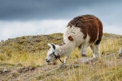 Lama jest udomowiającym południem - amerykański camelid, powszechnie używany jako juczny zwierzę i mięso Andyjskimi kulturami od  obrazy royalty free