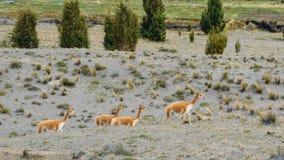 Lama jest udomowiającym południem - amerykański camelid, powszechnie używany jako juczny zwierzę i mięso Andyjskimi kulturami od  fotografia royalty free