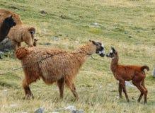 Lama jest udomowiającym południem - amerykański camelid, powszechnie używany jako juczny zwierzę i mięso Andyjskimi kulturami fotografia royalty free