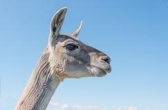 Lama-Kopf und Hals Lizenzfreies Stockfoto