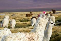 Lama on the Laguna Colorada, Bolivia Stock Image