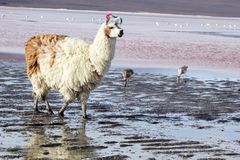 Lama on the Laguna Colorada, Bolivia Stock Photo