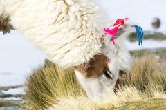Lama on the Laguna Colorada, Bolivia Stock Photography