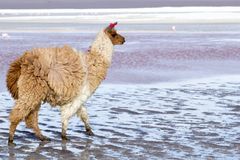 Lama on the Laguna Colorada, Bolivia Royalty Free Stock Images