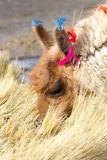 Lama on the Laguna Colorada, Bolivia Royalty Free Stock Photos