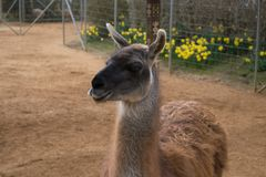 Lama. At the Colchester zoo Stock Photos