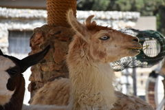 Lama Stock Photos