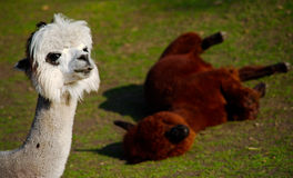 Lama and lama. White lama commenting on the behavior of her friend in the background Royalty Free Stock Photography