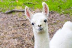 Lama (Lamaglama) baby stock foto's