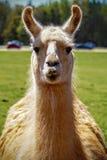 Lama Royalty Free Stock Photography