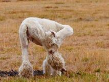 Lama leaking himself. Field bush grass Stock Photo