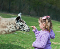 Lama and Little Girl. Lama looking for a hand out Royalty Free Stock Photography