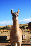 Lama llama in Puno, Peru Stock Photo