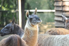 Lama looking. Funny at you Royalty Free Stock Photography