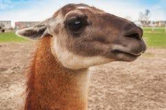 Lama looking at camera Royalty Free Stock Photo