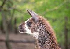 Lama  in the zoo with long neck looking down. Lama  is looking down with white background Royalty Free Stock Photography