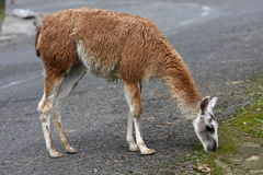 Lama Looking for Food Royalty Free Stock Image