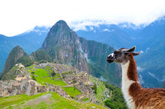 Lama looking at Machu Picchu Peru. Lama looking at landscape view of Machu Picchu, the Lost City of the Incas Stock Photos