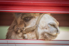 Lama Looking Out. Of a trailer Royalty Free Stock Images
