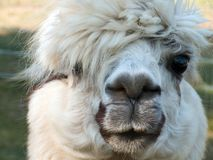 Lama - looking at you. The portrait of a white lama Royalty Free Stock Images