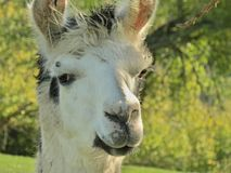 Lama. Is looking at you Royalty Free Stock Images