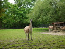 Lama Royalty Free Stock Images