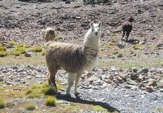 Lama looks straight. Lama at the altiplano mountains stones. Furry lama Royalty Free Stock Photos