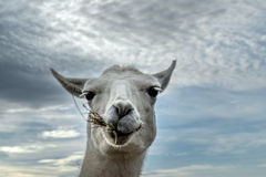 Lama at Lunch Royalty Free Stock Image