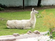 Lama. Lying on the grass Stock Photo