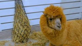 Lama lying near hay in zoo. Near white wooden fence Royalty Free Stock Photo
