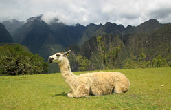 Lama in Macchu Picchu, Peru, South America Stock Images