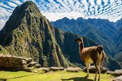 Lama Mach Picchu rujnuje peruvian Andes Cuzco Peru Zdjęcia Royalty Free
