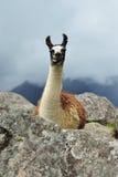 Lama Mach Picchu W Peru Obraz Royalty Free