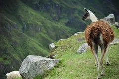 Lama Mach Picchu W Peru Fotografia Stock