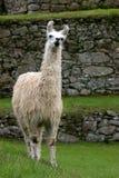 Lama He Machu célèbre Picchu Image libre de droits