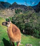 Lama in Machu Picchu Royalty-vrije Stock Afbeelding