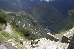 Lama at Machu Picchu. Machupicchu, high up in the Peruvian Andes. Aerial View with llama in foreground Stock Photos