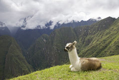 Lama at Machu Picchu Royalty Free Stock Photos