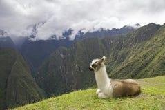 Lama at Machu Picchu. Llama at Machupicchu, high up in the Peruvian Andes Royalty Free Stock Photos