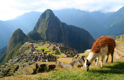 Lama And Machu Picchu. Llama grazing in front of ancient inca town of Machu Picchu Stock Images