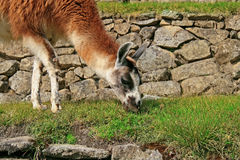 Lama in Machu Picchu Royalty Free Stock Photos